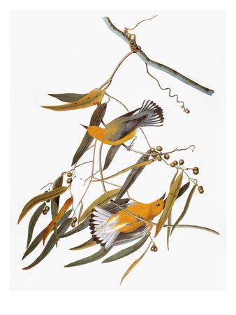 https://imgc.artprintimages.com/img/print/audubon-warbler_u-l-pfc7js0.jpg?artPerspective=n