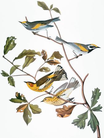 https://imgc.artprintimages.com/img/print/audubon-warbler_u-l-pfc7nl0.jpg?artPerspective=n
