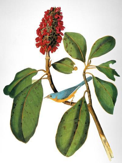 Audubon: Warbler-John James Audubon-Giclee Print