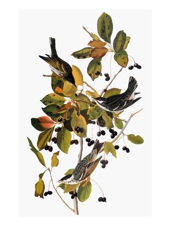 https://imgc.artprintimages.com/img/print/audubon-warbler_u-l-pfd49s0.jpg?artPerspective=n