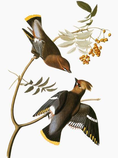 Audubon: Waxwing-John James Audubon-Giclee Print
