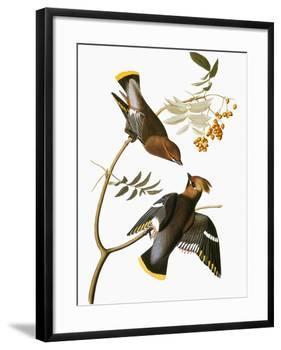 Audubon: Waxwing-John James Audubon-Framed Giclee Print