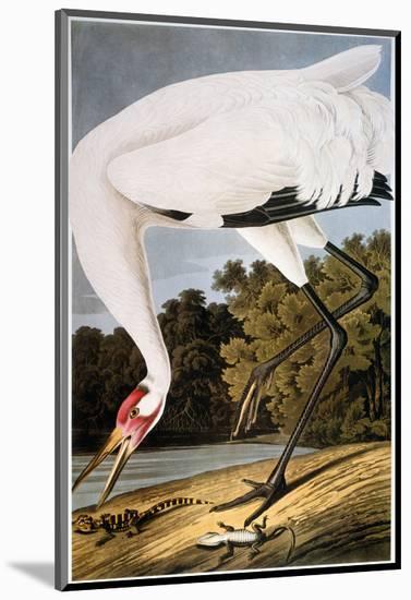 Audubon: Whooping Crane-John James Audubon-Mounted Premium Giclee Print