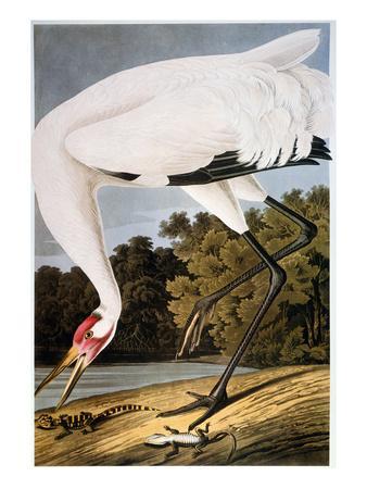 https://imgc.artprintimages.com/img/print/audubon-whooping-crane_u-l-pfddxf0.jpg?p=0