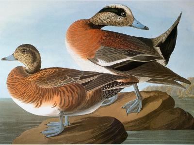 Audubon: Wigeon, 1827-38-John James Audubon-Giclee Print