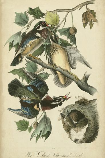 Audubon Wood Duck-John James Audubon-Art Print