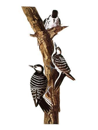 https://imgc.artprintimages.com/img/print/audubon-woodpecker_u-l-pfc5m60.jpg?p=0