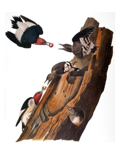 Audubon: Woodpecker-John James Audubon-Giclee Print