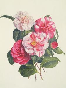 Camelias, C.1840 by Augusta Innes Withers
