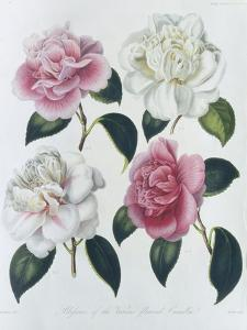 Blooms of Various Flowered Camellia by Augusta Withers