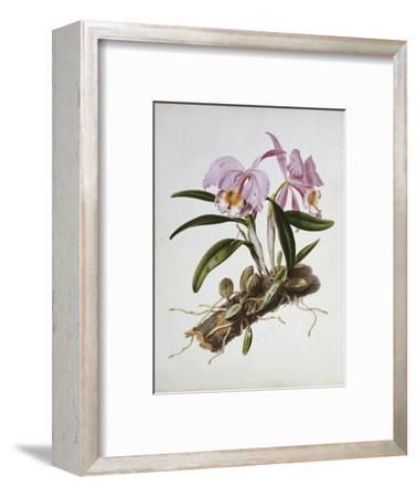 Orchidaceae : Cattleya Mossiae