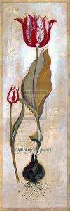 Tulipa Violoncello III by Augustine (Joseph Grassia)