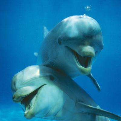 Bottlenose Dolphin Two Facing Camera