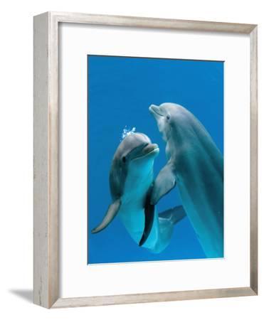 Bottlenose Dolphins, Pair Dancing Underwater