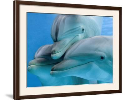 Bottlenose Dolphins, Three Close-Up of Heads Underwater by Augusto Leandro Stanzani