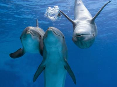 Bottlenose Dolphins, Three Playing Underwater