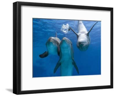 Bottlenose Dolphins, Three Playing Underwater