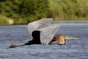 Goliath Heron in Flight by Augusto Leandro Stanzani