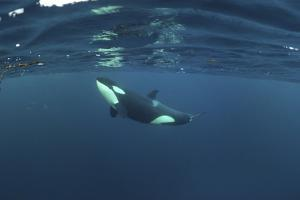 Killer Whale - Orca (Orcinus Orca) Just Below the Surface, Kristiansund, Nordmøre, Norway by Aukan