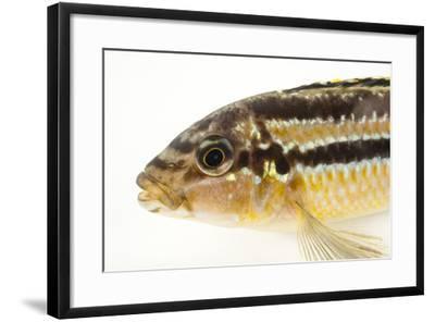 Auratus cichlid, Melanochromis auratus-Joel Sartore-Framed Photographic Print