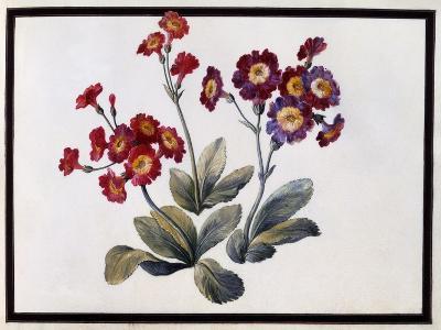 Auricula, C.1690-Claude Aubriet-Giclee Print