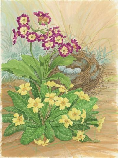 Auricula, Primrose and Nest, 1998-Linda Benton-Giclee Print