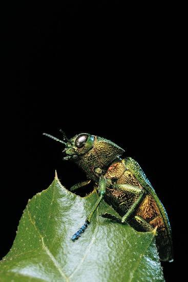 Aurigena Unicolor (Jewel Beetle)-Paul Starosta-Photographic Print