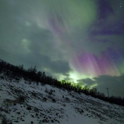 Aurora Borealis Above Reindeer in a Snow-Covered Winter Landscape-Babak Tafreshi-Photographic Print