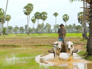 Farmer in Rice Fields North of Phnom Penh by Austin Bush