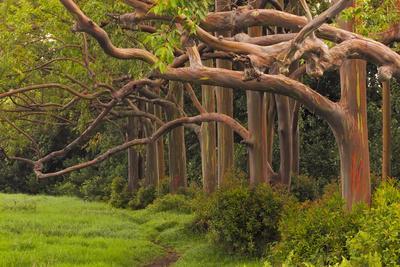 A Grove Of Rainbow Eucalyptus Trees Found Along The Road To Hana On The Island Of Maui, Hawaii