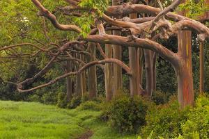 A Grove Of Rainbow Eucalyptus Trees Found Along The Road To Hana On The Island Of Maui, Hawaii by Austin Cronnelly