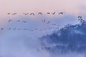 Snow Geese by Austin Li