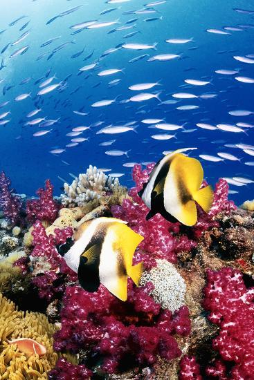 Australia, Bannerfish on the Great Barrier Reef (Digital Composite)-Jeff Hunter-Photographic Print