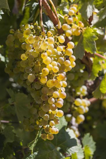 Australia, Clare Valley, Sevenhill, Winery Vineyard-Walter Bibikow-Photographic Print