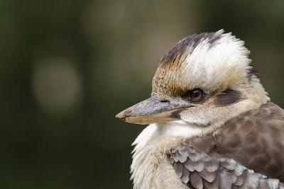 Australia. Dandenong, Grants Reserve. Kingfisher Laughing Kookaburra-Cindy Miller Hopkins-Photographic Print