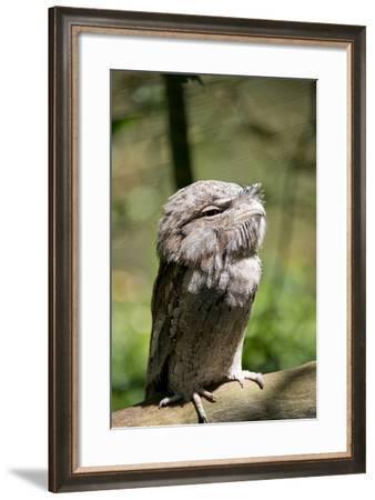 Australia, Darwin. Territory Wildlife Park. Tawny Frogmouth-Cindy Miller Hopkins-Framed Photographic Print