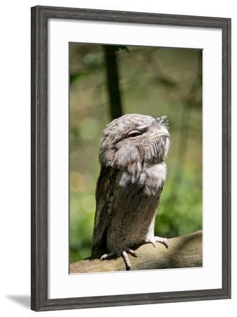 Australia, Darwin. Territory Wildlife Park. Tawny Frogmouth-Cindy Miller Hopkins-Framed Photographic Print