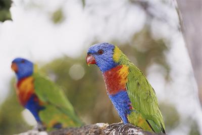 Australia, East Coast, Rainbow Lorikeets-Peter Skinner-Photographic Print