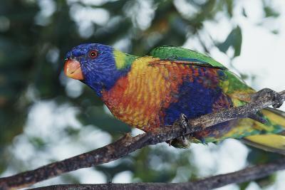 Australia, Eastern States of Australia, Close Up of Rainbow Lorikeet-Peter Skinner-Photographic Print