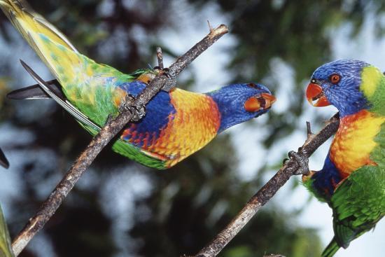 Australia, Eastern States of Australia, Close Up of Rainbow Lorikeets-Peter Skinner-Photographic Print