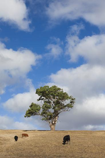 Australia, Fleurieu Peninsula, Normanville, Field with Cows-Walter Bibikow-Photographic Print