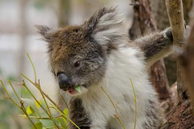 Australia, Perth, Yanchep National Park. Koala Bear a Native Arboreal Marsupial-Cindy Miller Hopkins-Photographic Print