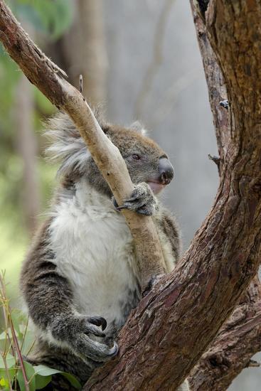 Australia, Perth, Yanchep National Park. Koala Bear a Native Arboreal Marsupial-Cindy Miller Hopkins-Photographic Print