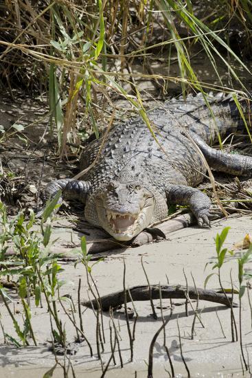 Australia, Queensland, Daintree. Dsaltwater Crocodile-Cindy Miller Hopkins-Photographic Print