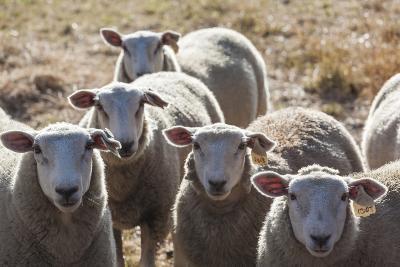 Australia, Victoria, Yarra Valley, Sheep Farm-Walter Bibikow-Photographic Print