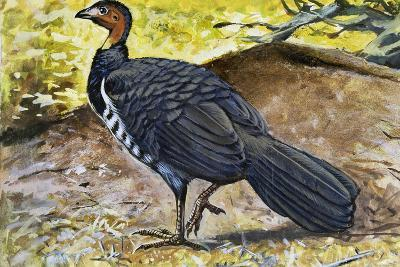 Australian Brushturkey or Scrub Turkey (Alectura Lathami), Megapodiidae--Giclee Print