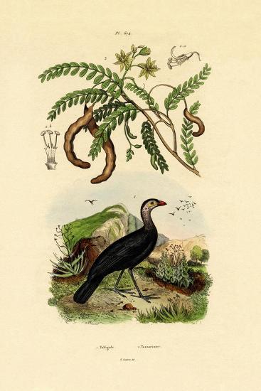 Australian Bush Turkey, 1833-39--Giclee Print
