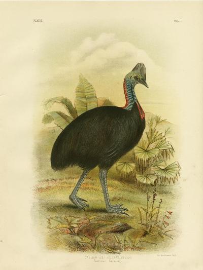 Australian Cassowary or Southern Cassowary, 1891-Gracius Broinowski-Giclee Print