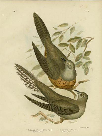 Australian Cuckoo, 1891-Gracius Broinowski-Giclee Print