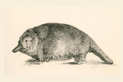Australian Duck-Billed Platypus. Ornithorhynchus Anatinus. from the National Encyclopaedia--Giclee Print